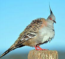 Crested Pigeon. Cedar Creek, Qld, Australia. by Ralph de Zilva