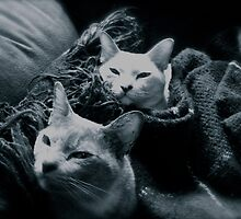Burmese in a Blanket. by VenturAShot