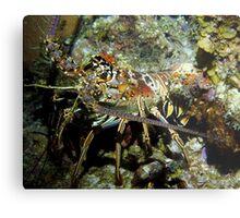 Caribbean Reef Lobster in Color Metal Print