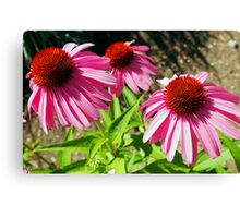 Pink and Purple Echinacea Cone Flower Macro Canvas Print