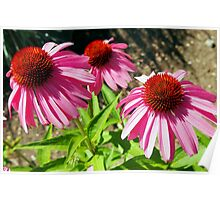Pink and Purple Echinacea Cone Flower Macro Poster