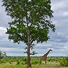 Giraffe in the Kruger National Park by vivsworld