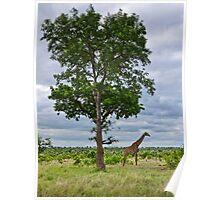 Giraffe in the Kruger National Park Poster