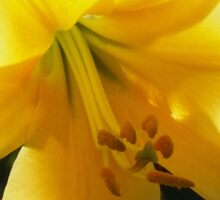 Sunlight filtering through Yellow Day Lilly Flower Sticker