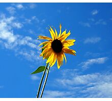 Lone Yellow Sunflower against the Summer Blue Sky Photographic Print