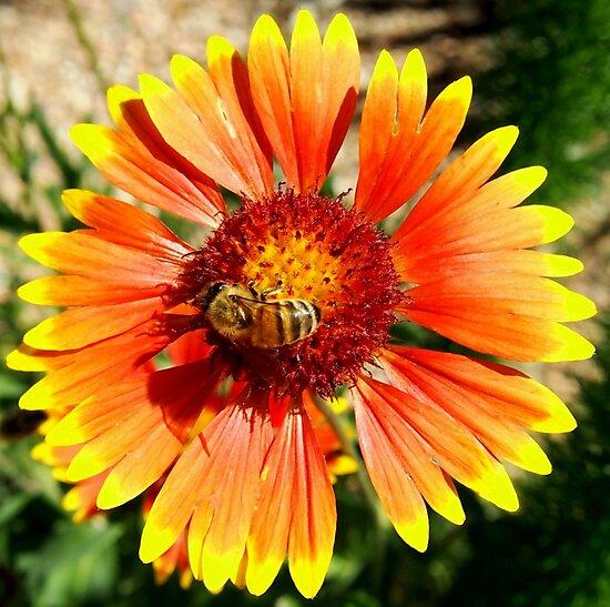 Orange and Red Gaillardia Prairie Flower with Bee Macro by Amy McDaniel