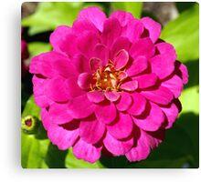 Macro Pink Fuschia Zinnia Flower in the Garden Canvas Print
