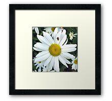 White Daisy Flower and Ladybug  Framed Print