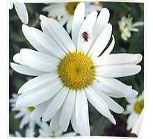 White Daisy Flower and Ladybug  Poster