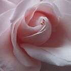 Soft Pink Rose Blush by edesigns14
