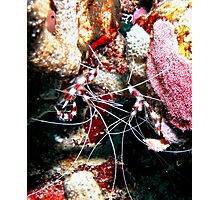 Banded Cleaner Shrimp on the Coral Reef Photographic Print