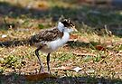 The Fledgling ~ Masked Lapwing (Spur-winged Plover) by Robert Elliott
