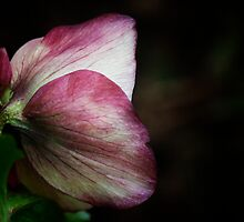 Pink Hellebore In Shadow by edesigns14