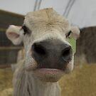 Nosey Calf, Cute Jersey Cow by songbird18