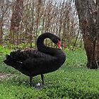 Black Swan by JLOPhotography