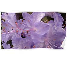 violet rhododendrum flowers Poster