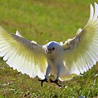 Crazy Corellas  by Trish Threlfall