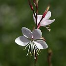 Gaura Flowers by Joy Watson