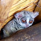 Hush Now... We're Trying To Sleep - Bushbaby - South Africa by AndreaEL