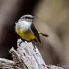 Western Yellow Robin by Rick Playle