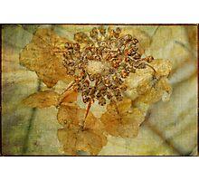 Iced Lace Cap Hydrangea Photographic Print