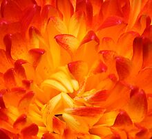 red chrysanthemum by Alexey Kostin