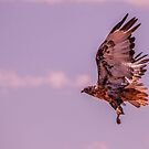 My first shot of this beautiful bird... by Mauds