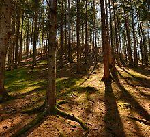Conifer forest lit by the sun naturalistic landscape color fine art - Il bosco d'Estate by visionitaliane
