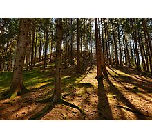Conifer forest lit by the sun naturalistic landscape color fine art - Il bosco d'Estate Photographic Print