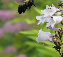 Bumble Bee by Adrian Coronado