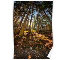 Conifer forest lit by the sun naturalistic landscape color fine art - Sole nel Bosco Poster