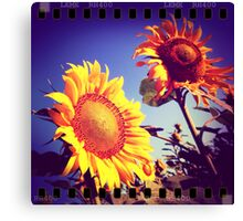 Girasoli in Toscana Canvas Print