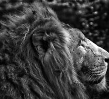 Fine art black and white naturalistic animal wall art - lion close up - Il Re by visionitaliane