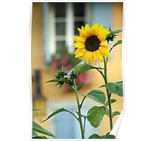 Sunflower in front of a house Poster