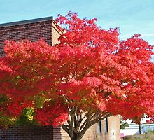 Red Maple Tree by Cynthia48