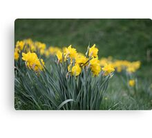 Daffodil Backs Canvas Print