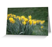 Daffodil Backs Greeting Card