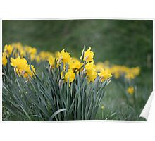 Daffodil Backs Poster
