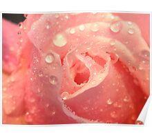 pink rose in macro Poster