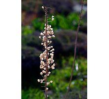Wild Flower Malta -- Location Red Tower Mellieha Photographic Print