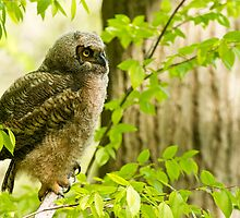 Great Horned Owl by Owl-Images