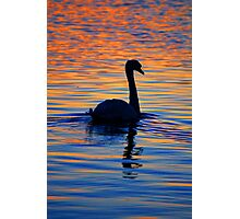 Beautiful swan, with sunset reflected on the water Photographic Print