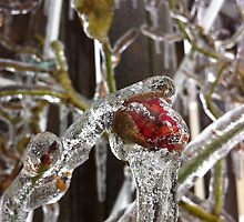 Red Rose covered in ice by Nadera Abu Atiya