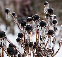 Toronto Ice Storm 2013 - Frozen Black Eyed Susans  by Georgia Mizuleva