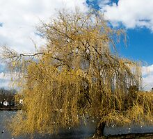 Willow Tree in Autumn by Nick Jenkins