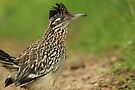Road Runner Profile by NatureGreeting Cards ©ccwri