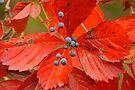 Poison Berries by NatureGreeting Cards ©ccwri