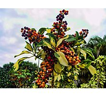 Ripening into the Maroon Nineteen Photographic Print