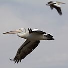 Pelicans in Flight by Kym Bradley