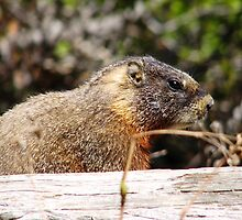 Marmot on a Log by Bryana Fern